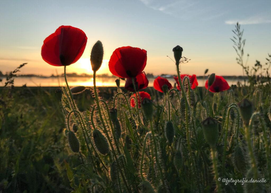 ©fotografie Daniëlle van der Ploeg klaprozen 6 2