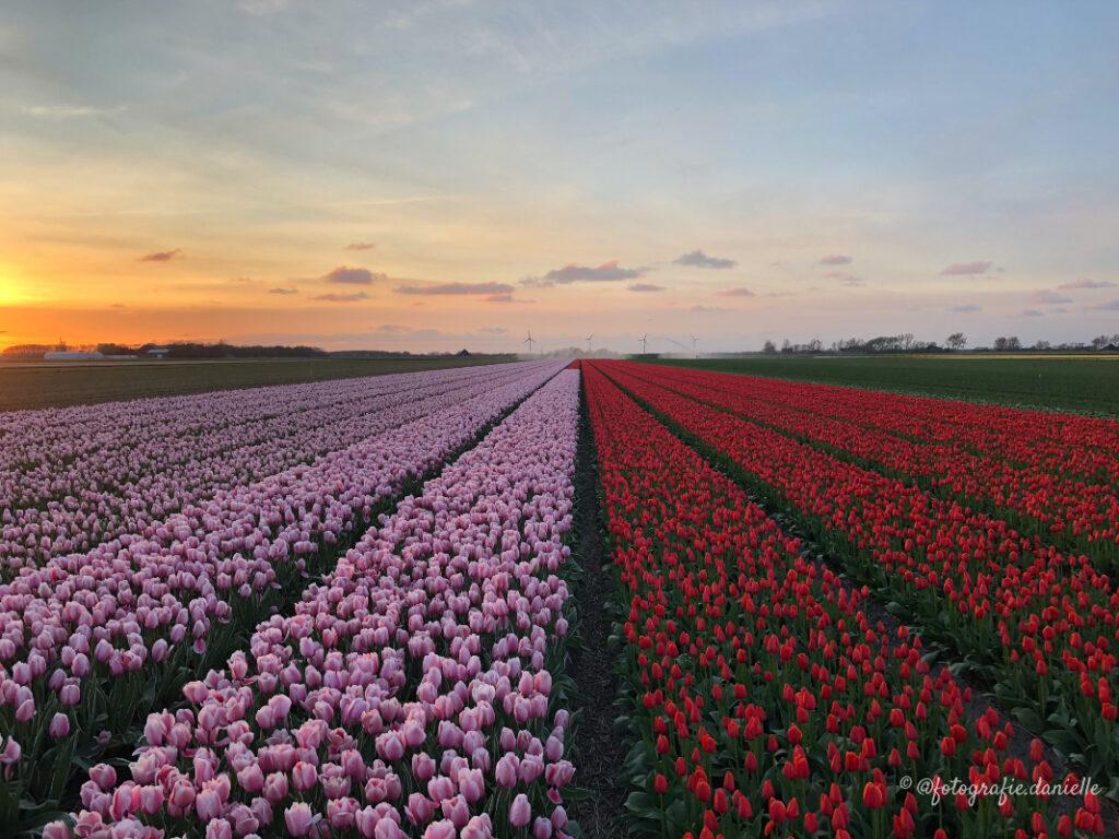 ©fotografie Daniëlle van der Ploeg tulips tulpen liggend 1