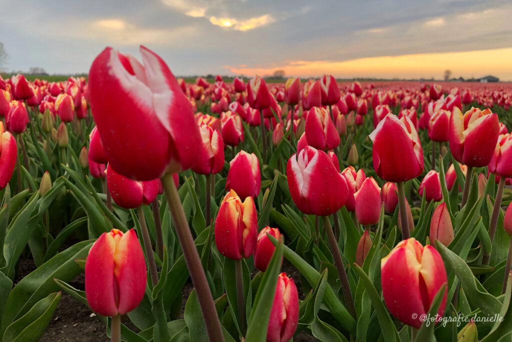 ©fotografie Daniëlle van der Ploeg tulips tulpen liggend 10