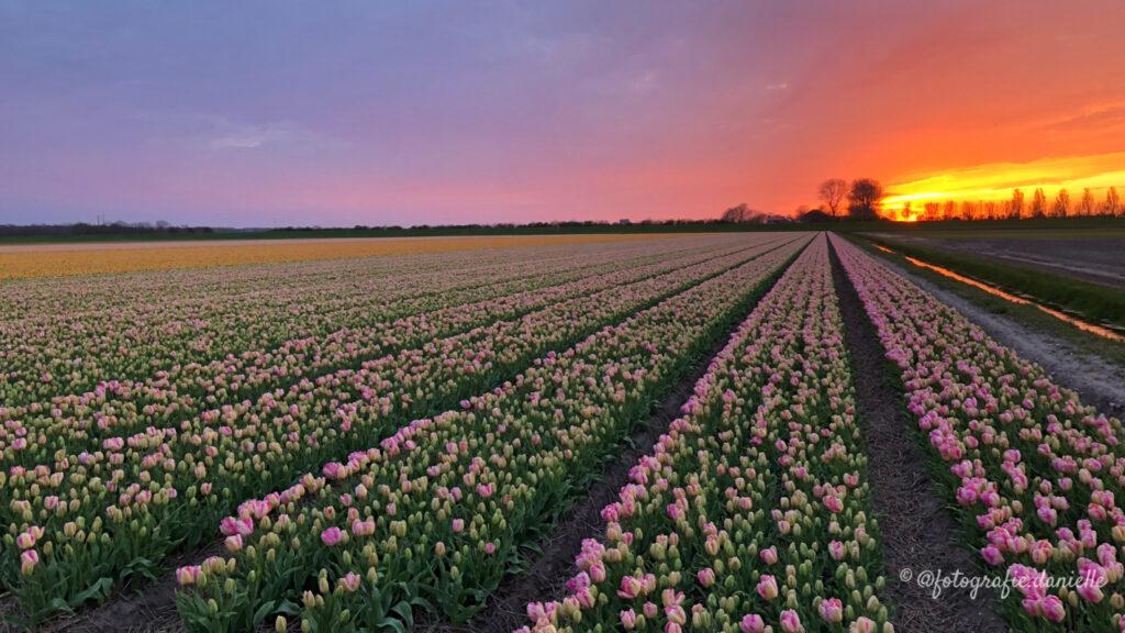 ©fotografie Daniëlle van der Ploeg tulips tulpen liggend 11