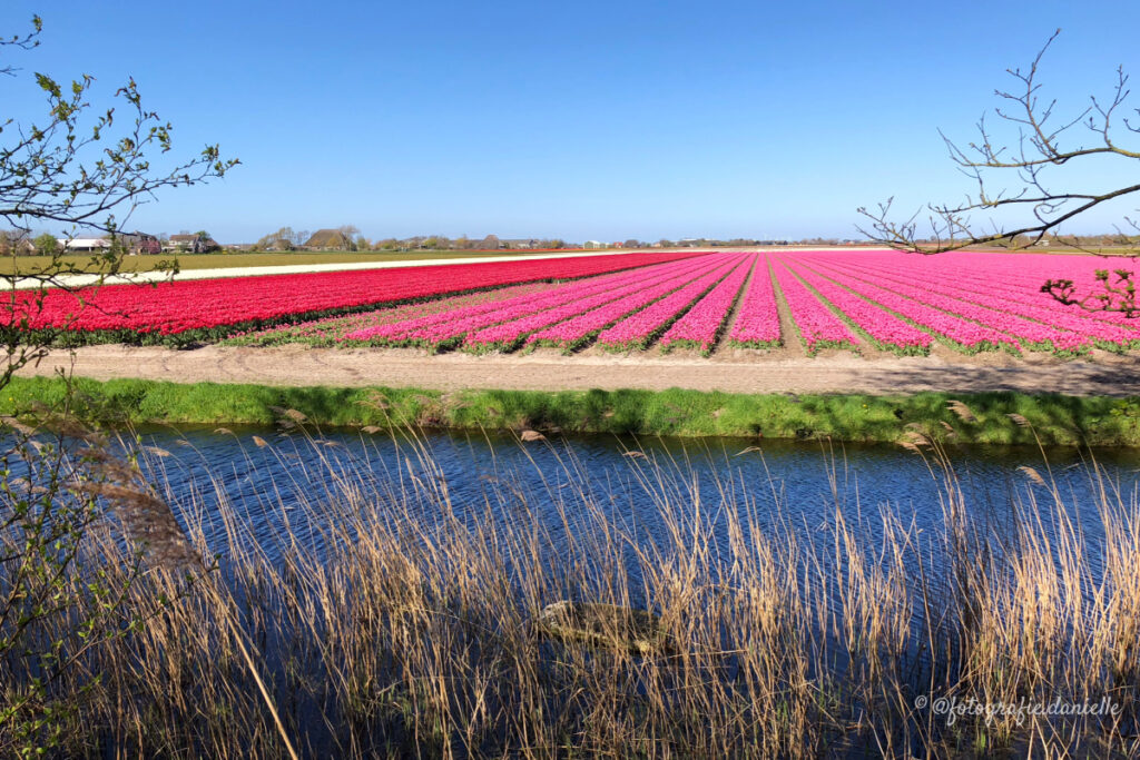 ©fotografie Daniëlle van der Ploeg tulips tulpen liggend 12