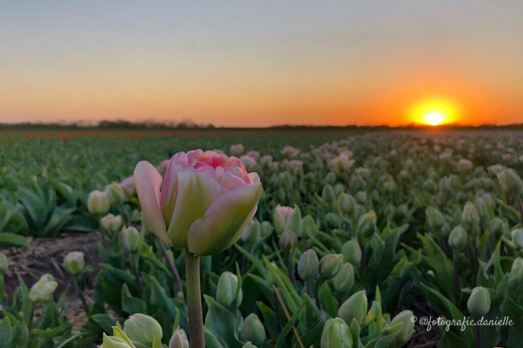 ©fotografie Daniëlle van der Ploeg tulips tulpen liggend 13