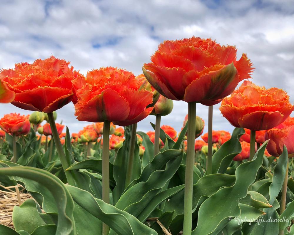 ©fotografie Daniëlle van der Ploeg tulips tulpen liggend 14