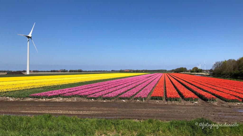 ©fotografie Daniëlle van der Ploeg tulips tulpen liggend 15