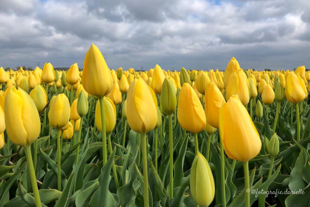 ©fotografie Daniëlle van der Ploeg tulips tulpen liggend 16
