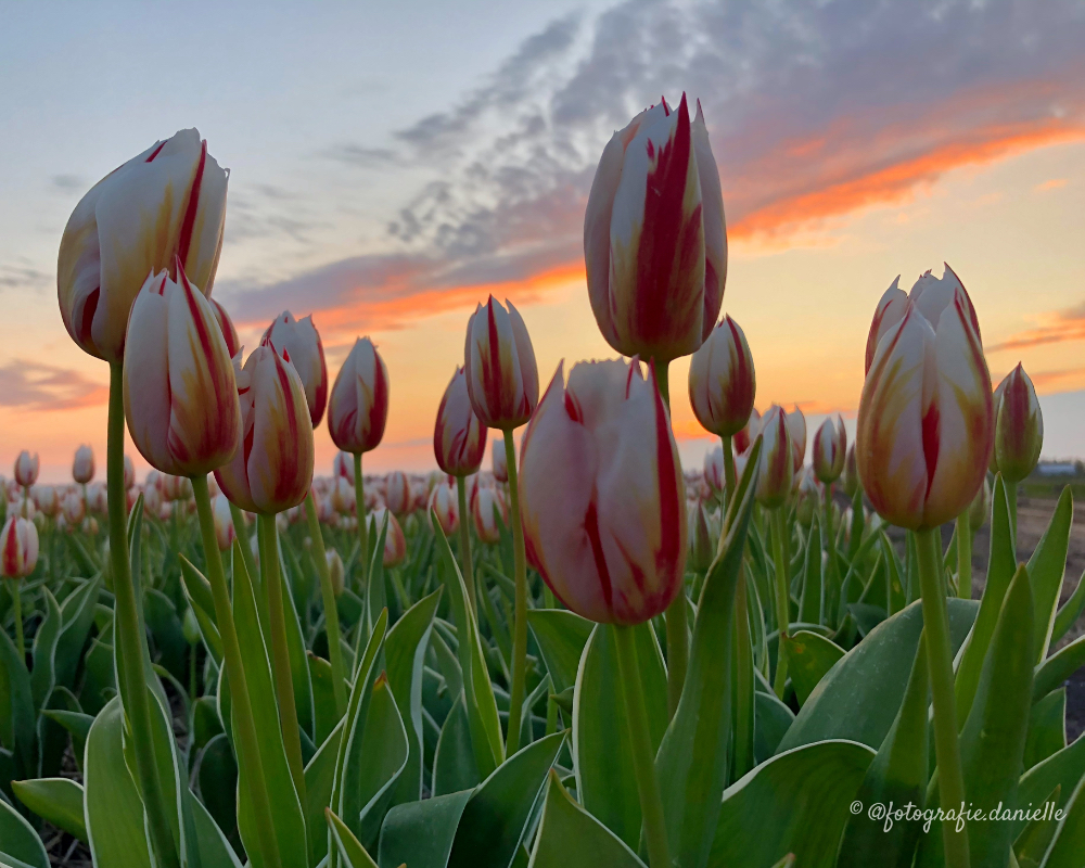 ©fotografie Daniëlle van der Ploeg tulips tulpen liggend 19