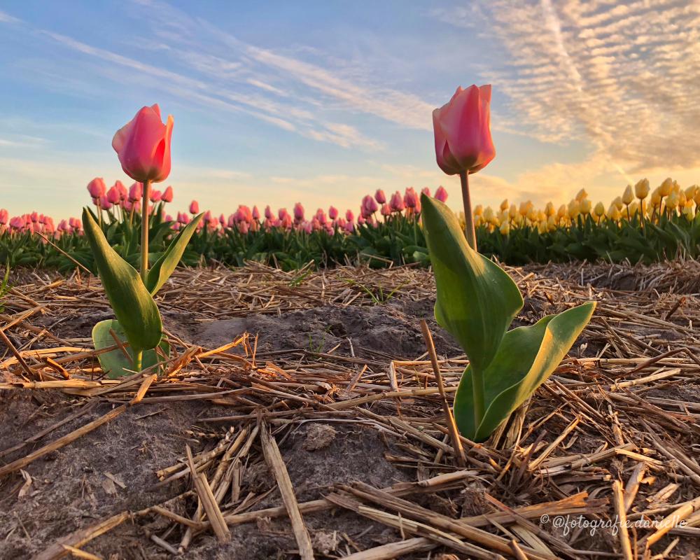 ©fotografie Daniëlle van der Ploeg tulips tulpen liggend 23