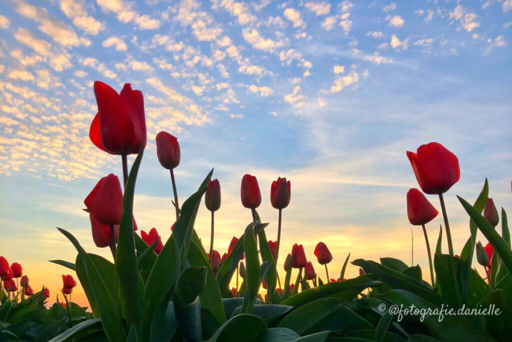 ©fotografie Daniëlle van der Ploeg tulips tulpen liggend 24