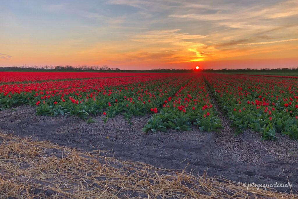 ©fotografie Daniëlle van der Ploeg tulips tulpen liggend 25