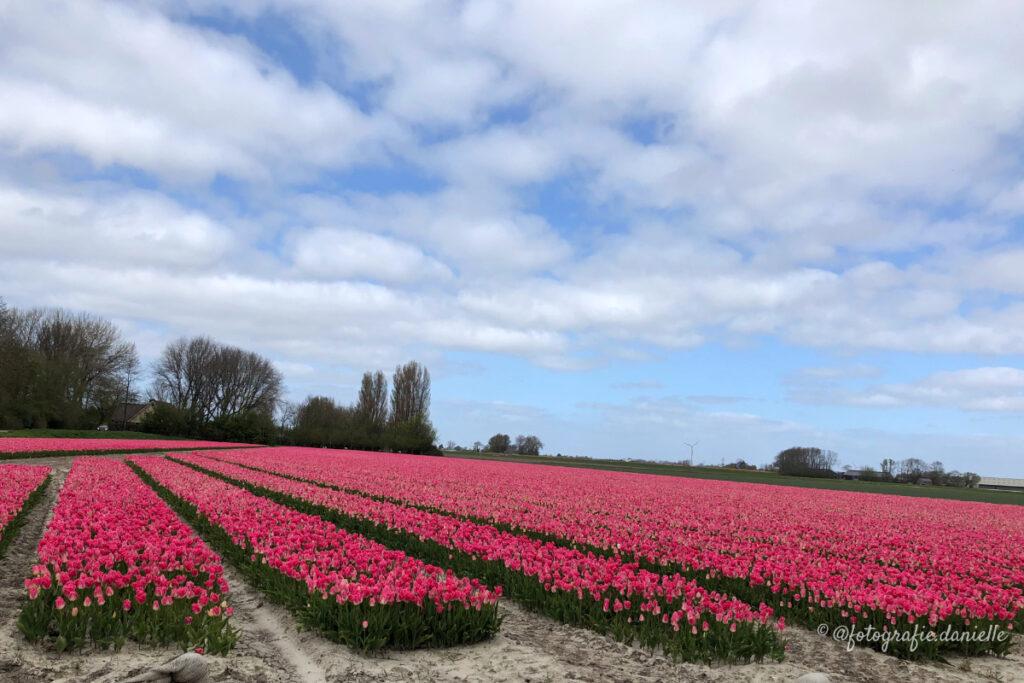 ©fotografie Daniëlle van der Ploeg tulips tulpen liggend 26