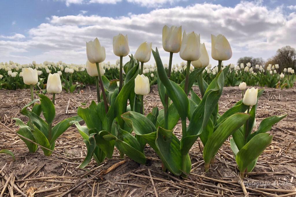 ©fotografie Daniëlle van der Ploeg tulips tulpen liggend 27