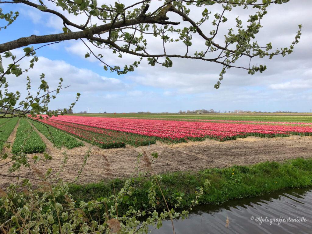 ©fotografie Daniëlle van der Ploeg tulips tulpen liggend 28