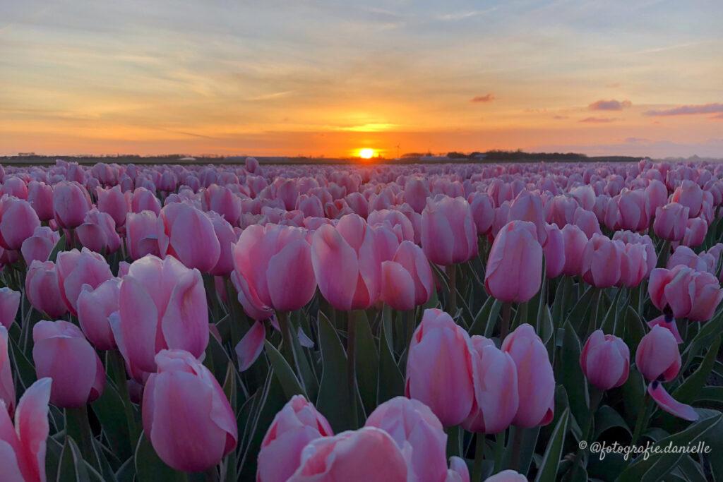 ©fotografie Daniëlle van der Ploeg tulips tulpen liggend 29