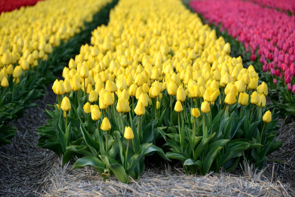 ©fotografie Daniëlle van der Ploeg tulips tulpen liggend 3