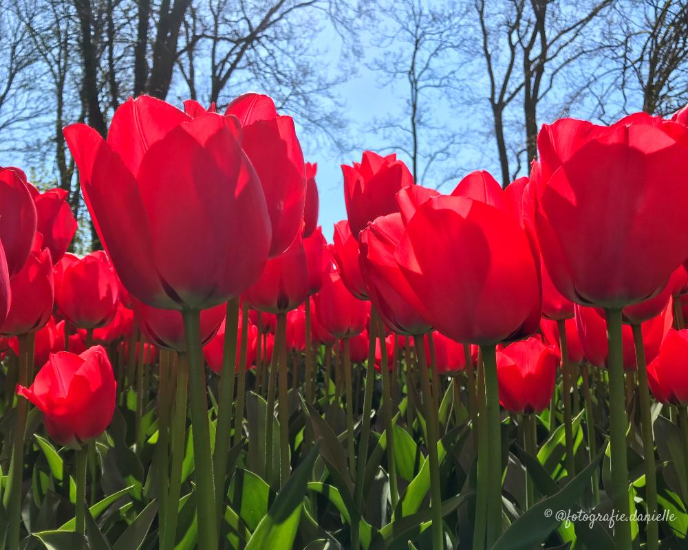 ©fotografie Daniëlle van der Ploeg tulips tulpen liggend 30