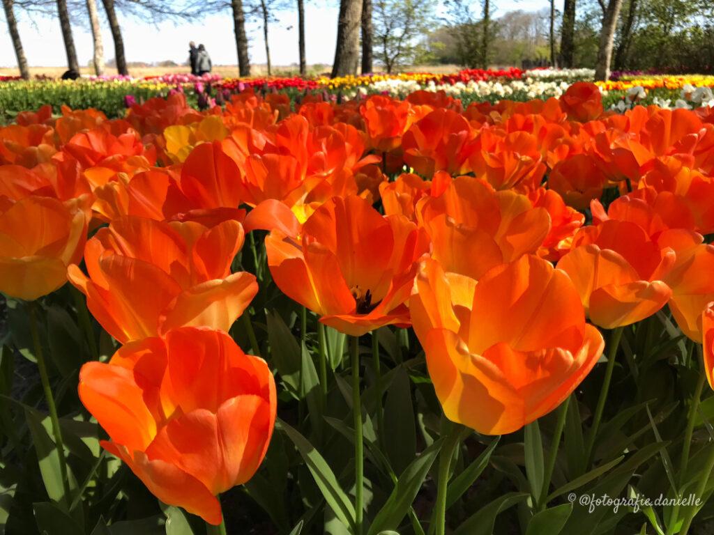 ©fotografie Daniëlle van der Ploeg tulips tulpen liggend 31