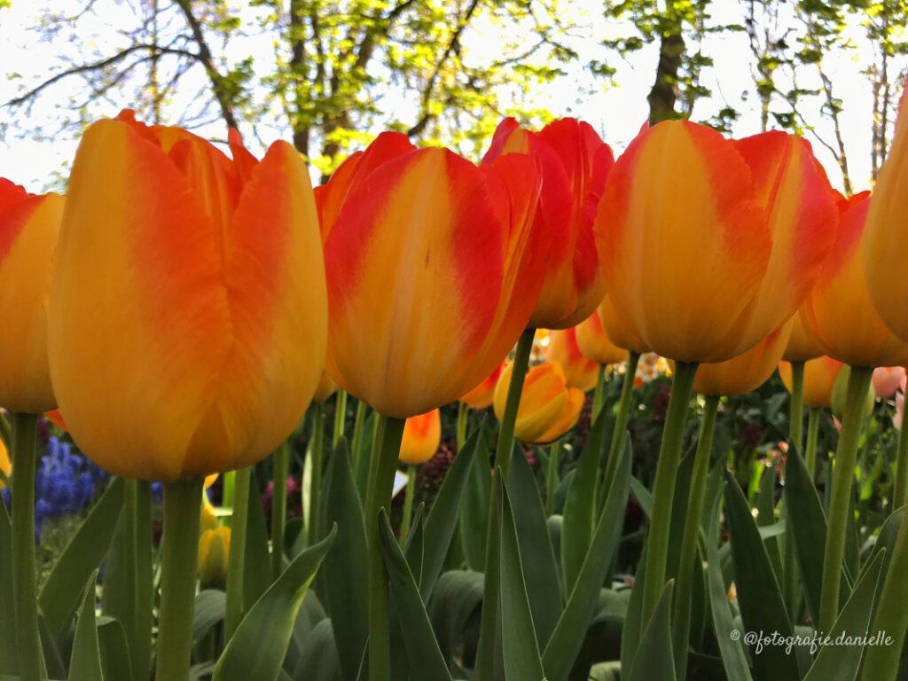 ©fotografie Daniëlle van der Ploeg tulips tulpen liggend 32