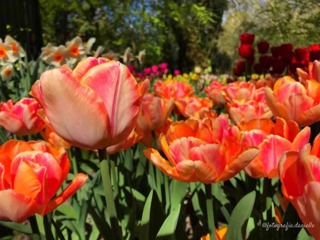©fotografie Daniëlle van der Ploeg tulips tulpen liggend 33