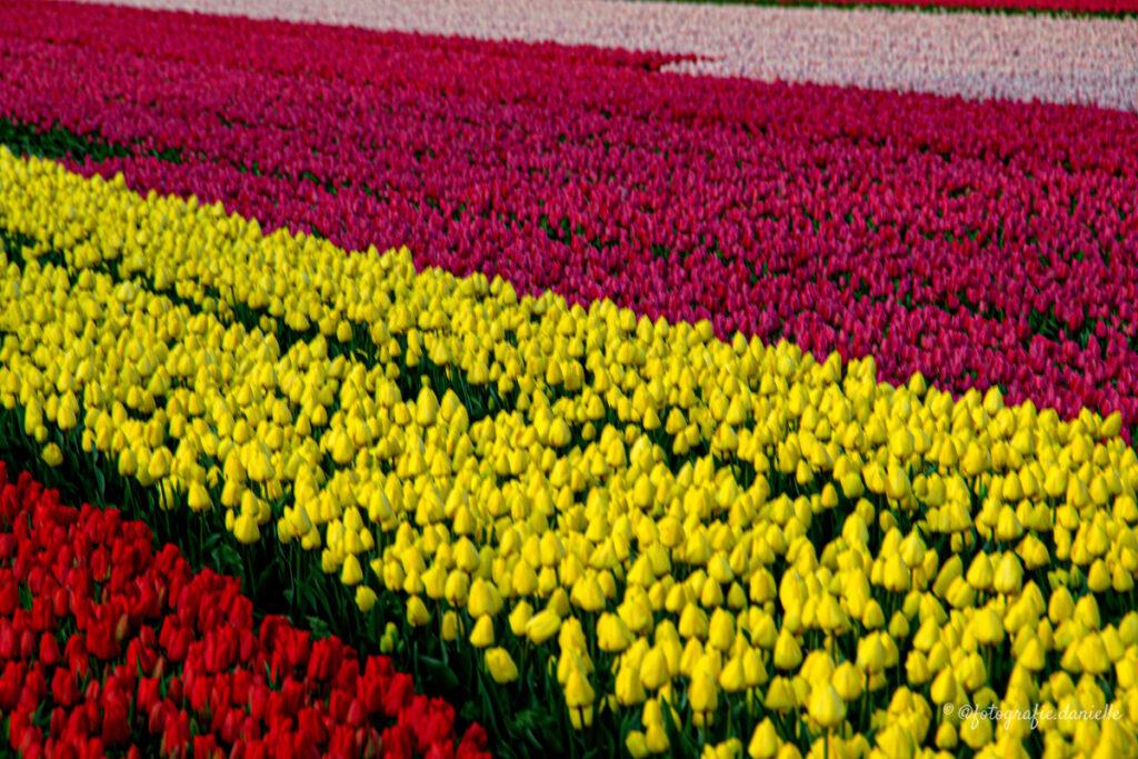 ©fotografie Daniëlle van der Ploeg tulips tulpen liggend 4
