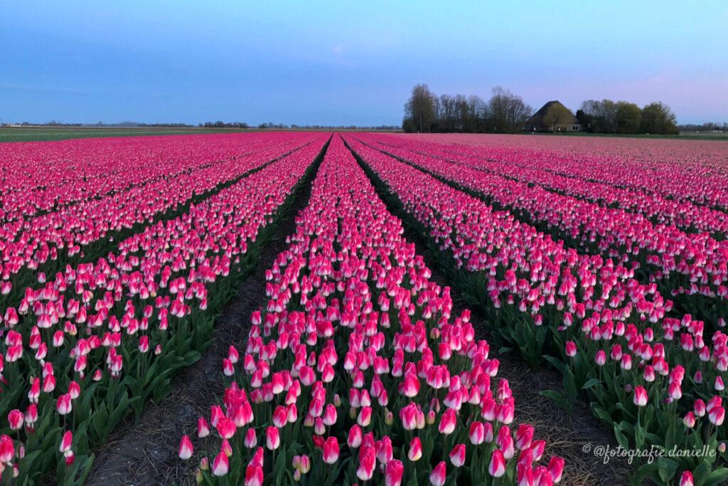 ©fotografie Daniëlle van der Ploeg tulips tulpen liggend 5