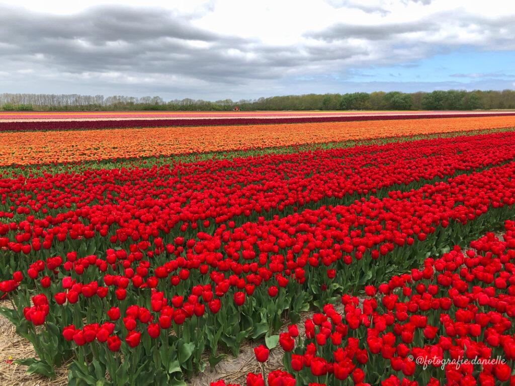 ©fotografie Daniëlle van der Ploeg tulips tulpen liggend 6