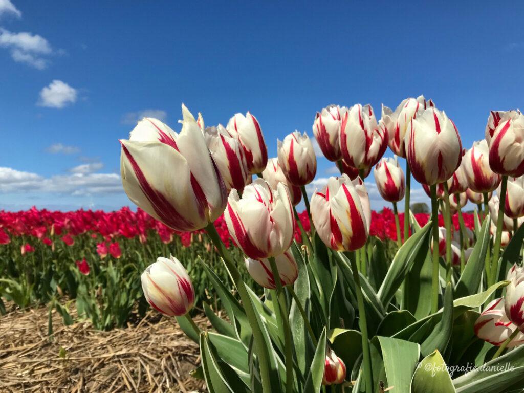 ©fotografie Daniëlle van der Ploeg tulips tulpen liggend 7
