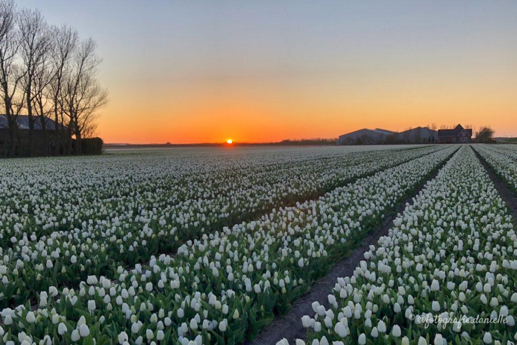 ©fotografie Daniëlle van der Ploeg tulips tulpen liggend 8