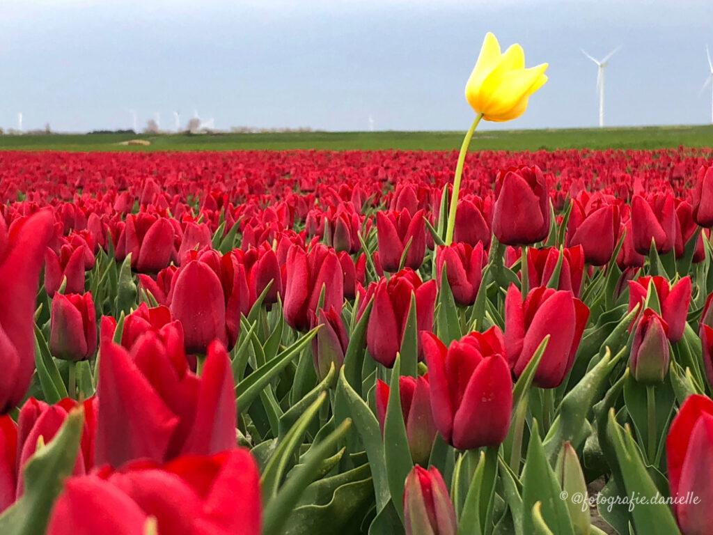 ©fotografie Daniëlle van der Ploeg tulips tulpen liggend 9
