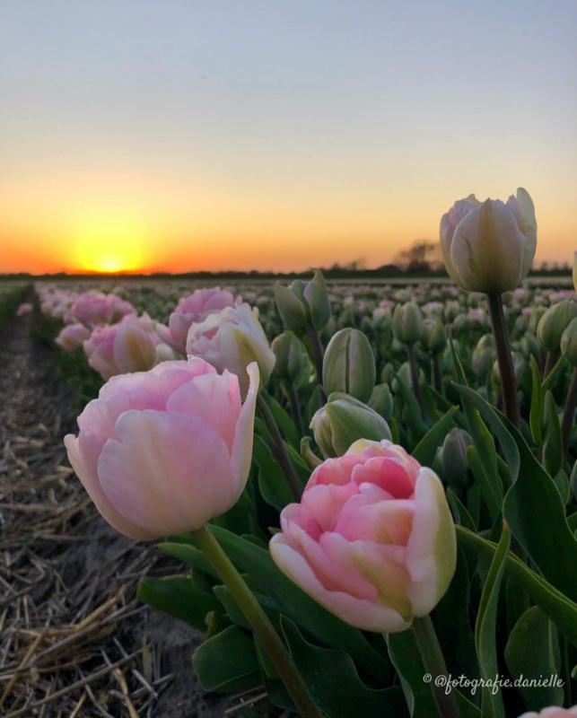 ©fotografie Daniëlle van der Ploeg tulips tulpen staand 1