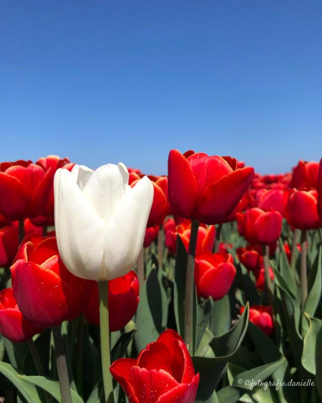 ©fotografie Daniëlle van der Ploeg tulips tulpen staand 10