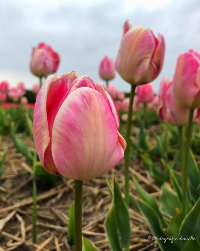 ©fotografie Daniëlle van der Ploeg tulips tulpen staand 11