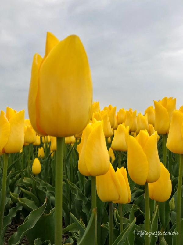 ©fotografie Daniëlle van der Ploeg tulips tulpen staand 12