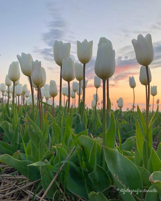 ©fotografie Daniëlle van der Ploeg tulips tulpen staand 14