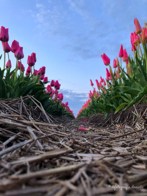©fotografie Daniëlle van der Ploeg tulips tulpen staand 15