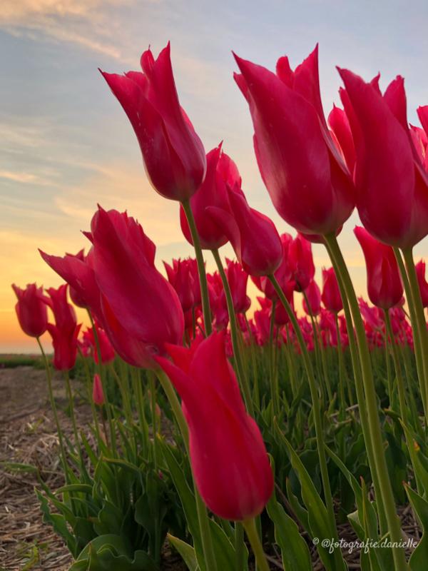©fotografie Daniëlle van der Ploeg tulips tulpen staand 17
