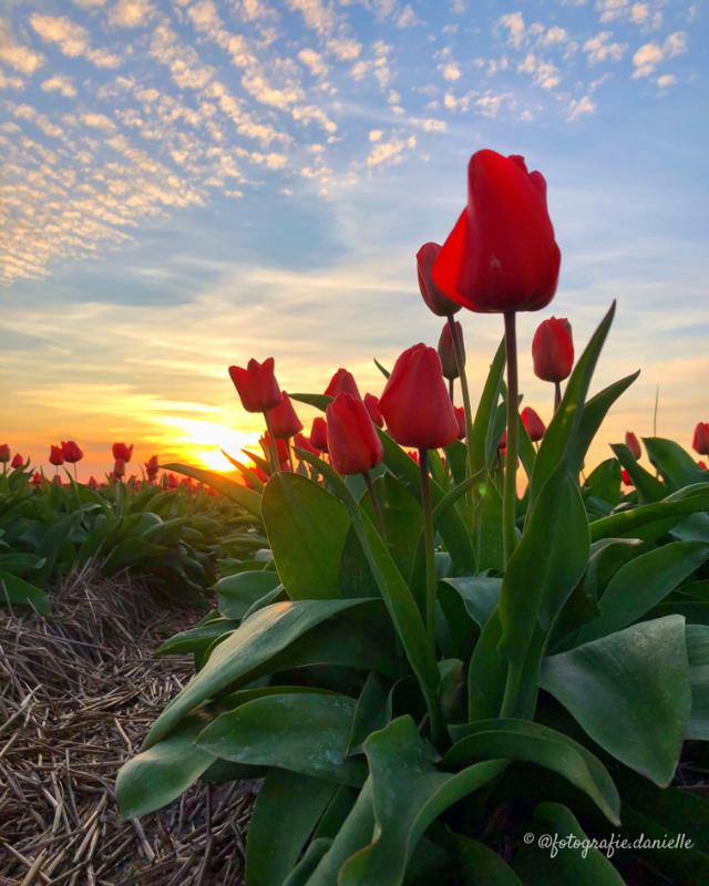 ©fotografie Daniëlle van der Ploeg tulips tulpen staand 19