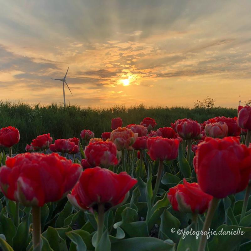 ©fotografie Daniëlle van der Ploeg tulips tulpen staand 2