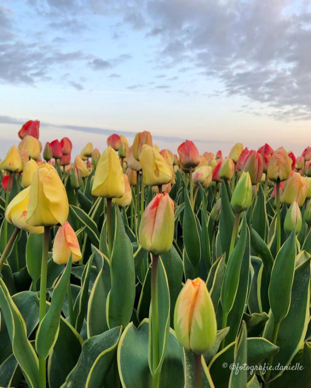 ©fotografie Daniëlle van der Ploeg tulips tulpen staand 3