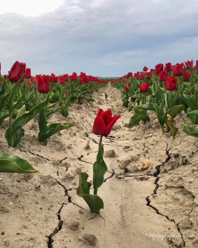 ©fotografie Daniëlle van der Ploeg tulips tulpen staand 4