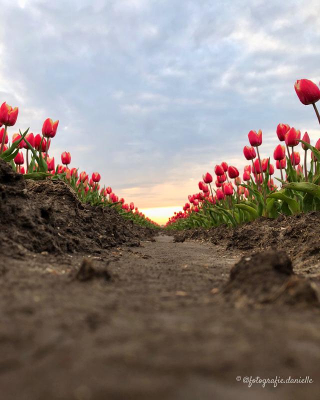 ©fotografie Daniëlle van der Ploeg tulips tulpen staand 5
