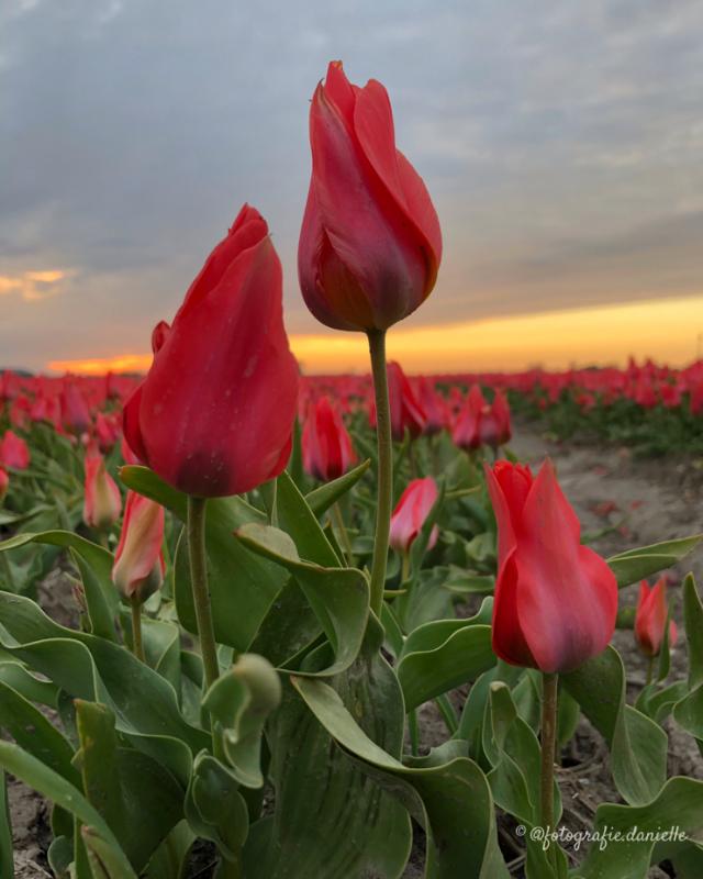 ©fotografie Daniëlle van der Ploeg tulips tulpen staand 7