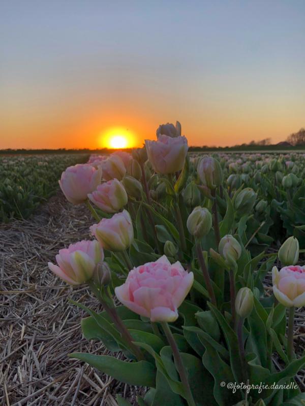 ©fotografie Daniëlle van der Ploeg tulips tulpen staand 8