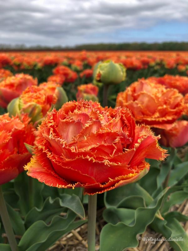 ©fotografie Daniëlle van der Ploeg tulips tulpen staand 9