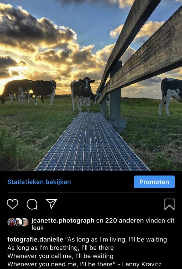 foto koeien met songtekst