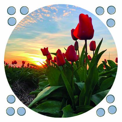 ansichtkaart rode tulp