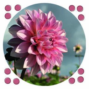 ansichtkaart roze dahlia